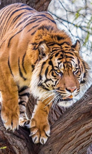 Download Tiger Live Wallpaper : backgrounds hd 15.0 APK For Android