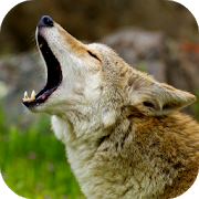 Coyote Sounds 2.0 Apk for android