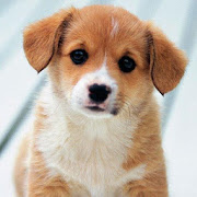Cute puppies Wallpapers 1.1.09.21.puppies Apk for android